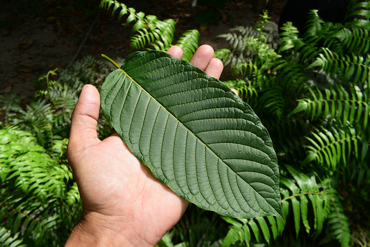 How Does Kratom Help The Human Body